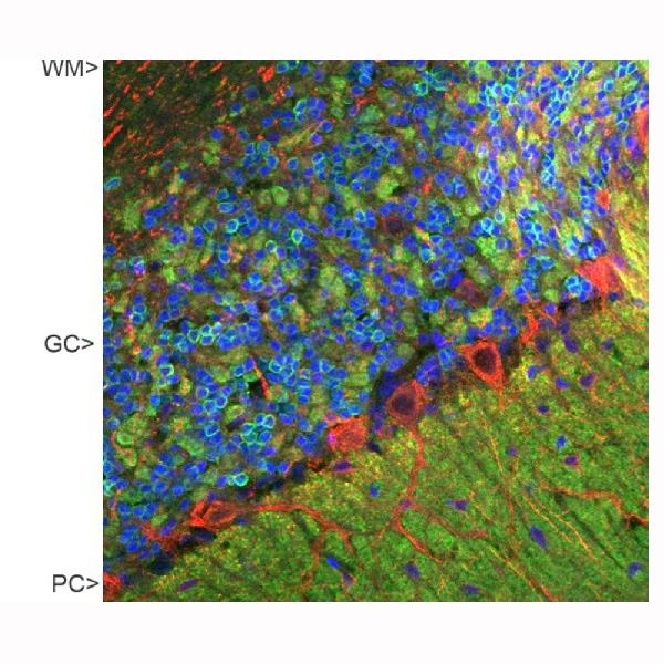 Confocal image of adult rat cerebellar cortex stained with M06959-3, in green, and Boster polyclonal antibody to NF-M,