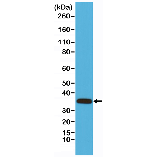 Figure 1. Western Blotting result<br>Western Blot analysis of mouse heart tissue lysates, using anti- Calponin-1 rabbit monoclonal antibody (Clone RM262), shows Calponin-1 expression in mouse heart tissue.
