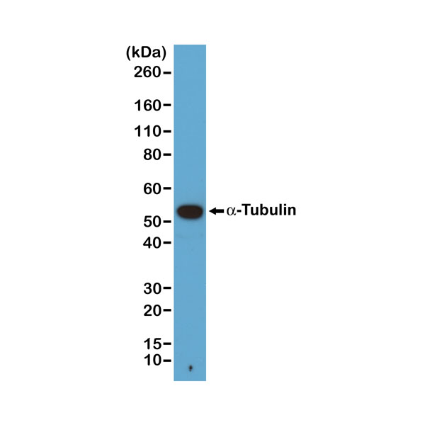Figure 1. Western Blotting result<br>Western blot of A431 cells, using RevMAb Clone RM113 at 1/1000 dilution. A ?-Tubulin band showed at the predicted MW (~50 kDa).