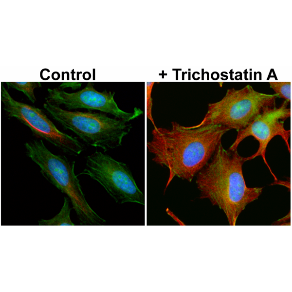 Figure 2. ICC result<br>Immunocytochemistry of HeLa cells non-treated or treated with Trichostatin A (TSA), using anti-Acetyl-alpha-Tubulin (Lys40) rabbit monoclonal antibody (Clone RM318) at a 1:5000 dilution (red). Actin filaments have been labeled with fluorescein phalloidin (green), and nuclei with DAPI (blue).