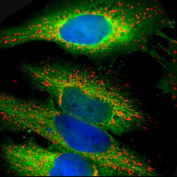 Immunofluorescent analysis of HeLa cells stained with chicken pAb to HSP27, M09275-1, dilution 1:1,000 in green, and costained with mouse mAb to HSP60 dilution 1:5,000 in red. Blue is DAPI staining of nuclear DNA. The M09275-1 antibody produces strong cytoplasmic staining, while the HSP60 antibody specifically labels mitochondria.