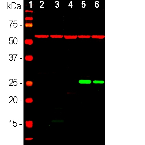 Western blot of tissue or whole cell lysates using mouse mAb to HSP27, M09275, dilution 1:10,000, in green. [1] protein standard (red), [2] rat brain, [3] mouse brain, [4] NIH-3T3, [5] HEK293, [6] HeLa, [7] SH-SY5Y cells. The strong single band at ~27kDa corresponds to the HSP27 protein, detected only in human cell lines, since this antibody is human specific. The blot was simultaneously probed with rabbit pAb to HSP-60, dilution 1:5,000 in red. A strong 60kDa band is present in all preparations.