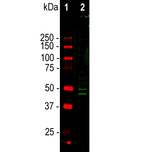 Western blot analysis of mouse brain nuclear fraction lysate using chicken pAb to Fox3/NeuN (M11954-3, dilution 1:1,000 in green. Lane 1 represents protein standard in red. Two bands at 46 and 50 kDa mark correspond to the FOX3/NeuN protein.