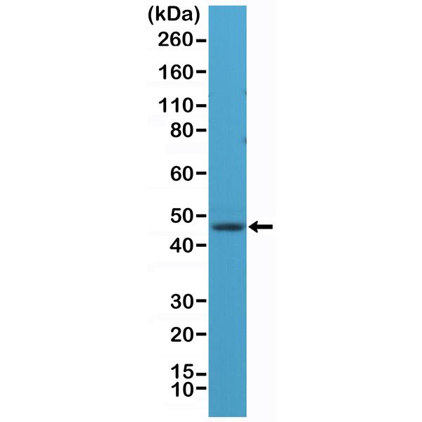 Figure 1. Western Blotting result<br>Western Blot of human brain tissue lysate using anti-NeuN rabbit monoclonal antibody (Clone RM312) at a 1:1,000 dilution.