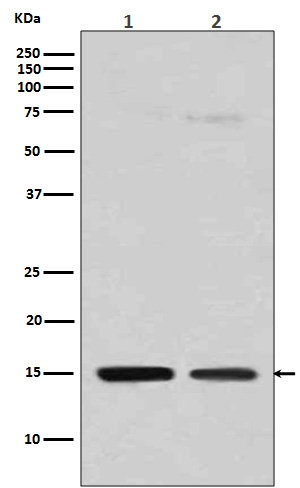 Western blot analysis of Histone H3 (mono methyl R128) expression in (1) HeLa cell lysate; (2) NIH/3T3 cell lysate (M12477-7). <br>Electrophoresis was performed on a 5-20% SDS-PAGE gel at 70V (Stacking gel) / 90V (Resolving gel) for 2-3 hours. The sample well of each lane was loaded with 50ug of sample under reducing conditions. <br> After Electrophoresis, proteins were transferred to a Nitrocellulose membrane at 150mA for 50-90 minutes. Blocked the membrane with 5% Non-fat Milk/ TBS for 1.5 hour at RT. The membrane was incubated with rabbit anti-HIST1H3A monoclonal antibody (Catalog # M12477-7)  overnight at 4℃, then washed with TBS-0.1%Tween 3 times with 5 minutes each and probed with a goat anti-rabbit IgG-HRP secondary antibody at a dilution of 1:10000 for 1.5 hour at RT. The signal is developed using an Enhanced Chemiluminescent detection (ECL) kit (Catalog # EK1002) with Tanon 5200 system. A specific band was detected for HIST1H3A