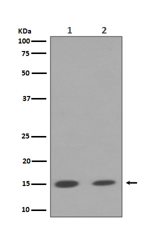 Western blot analysis of Histone H3 (mono+di+tri methyl K79) expression in (1) NIH/3T3 cell lysate; (2) A549 cell lysate (M12477-8). <br>Electrophoresis was performed on a 5-20% SDS-PAGE gel at 70V (Stacking gel) / 90V (Resolving gel) for 2-3 hours. The sample well of each lane was loaded with 50ug of sample under reducing conditions. <br> After Electrophoresis, proteins were transferred to a Nitrocellulose membrane at 150mA for 50-90 minutes. Blocked the membrane with 5% Non-fat Milk/ TBS for 1.5 hour at RT. The membrane was incubated with rabbit anti-HIST1H3A monoclonal antibody (Catalog # M12477-8)  overnight at 4?? then washed with TBS-0.1%Tween 3 times with 5 minutes each and probed with a goat anti-rabbit IgG-HRP secondary antibody at a dilution of 1:10000 for 1.5 hour at RT. The signal is developed using an Enhanced Chemiluminescent detection (ECL) kit (Catalog # EK1002) with Tanon 5200 system. A specific band was detected for HIST1H3A