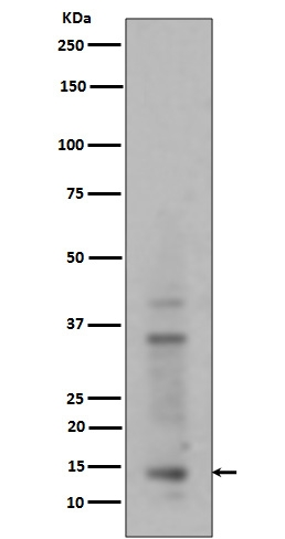 Western blot analysis of Histone H3 (mono+di+tri methyl K14) expression in HeLa cell lysate (M12477-9). <br>Electrophoresis was performed on a 5-20% SDS-PAGE gel at 70V (Stacking gel) / 90V (Resolving gel) for 2-3 hours. The sample well of each lane was loaded with 50ug of sample under reducing conditions. <br> After Electrophoresis, proteins were transferred to a Nitrocellulose membrane at 150mA for 50-90 minutes. Blocked the membrane with 5% Non-fat Milk/ TBS for 1.5 hour at RT. The membrane was incubated with rabbit anti-HIST1H3A monoclonal antibody (Catalog # M12477-9)  overnight at 4?? then washed with TBS-0.1%Tween 3 times with 5 minutes each and probed with a goat anti-rabbit IgG-HRP secondary antibody at a dilution of 1:10000 for 1.5 hour at RT. The signal is developed using an Enhanced Chemiluminescent detection (ECL) kit (Catalog # EK1002) with Tanon 5200 system. A specific band was detected for HIST1H3A