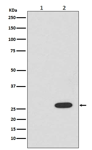 Western blot analysis of RFP expression in (1) 293T cell lysate; (2) 293T cell lysate transfected with RFP (M30958).