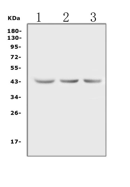 Figure 6. Western blot analysis of Actin using anti-Actin antibody (MA1000).