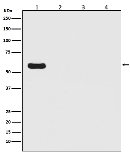 Western blot analysis of Firefly Luciferase  Antibody - N-terminal expression in (1) Firefly Luciferase transfected 293T cell lysate; (2) HeLa cell lysate; (3) NIH/3T3 cell lysate; (4) C6 cell lysate (MT0021-1). <br>Electrophoresis was performed on a 5-20% SDS-PAGE gel at 70V (Stacking gel) / 90V (Resolving gel) for 2-3 hours. The sample well of each lane was loaded with 50ug of sample under reducing conditions. <br> After Electrophoresis, proteins were transferred to a Nitrocellulose membrane at 150mA for 50-90 minutes. Blocked the membrane with 5% Non-fat Milk/ TBS for 1.5 hour at RT. The membrane was incubated with rabbit anti-Firefly Luciferase monoclonal antibody (Catalog # MT0021-1)  overnight at 4°C, then washed with TBS-0.1%Tween 3 times with 5 minutes each and probed with a goat anti-rabbit IgG-HRP secondary antibody at a dilution of 1:10000 for 1.5 hour at RT. The signal is developed using an Enhanced Chemiluminescent detection (ECL) kit (Catalog # EK1002) with Tanon 5200 system. A specific band was detected for Firefly Luciferase