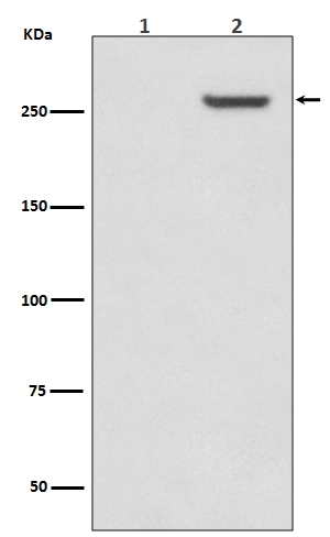 Western blot analysis of Phospho-mTOR (S2481) expression in (1)293 cell lysate treated with LP; (2)293 cell lysate (P00003-1). <br>Electrophoresis was performed on a 5-20% SDS-PAGE gel at 70V (Stacking gel) / 90V (Resolving gel) for 2-3 hours. The sample well of each lane was loaded with 50ug of sample under reducing conditions. <br> After Electrophoresis, proteins were transferred to a Nitrocellulose membrane at 150mA for 50-90 minutes. Blocked the membrane with 5% Non-fat Milk/ TBS for 1.5 hour at RT. The membrane was incubated with rabbit anti-MTOR monoclonal antibody (Catalog # P00003-1)  overnight at 4℃, then washed with TBS-0.1%Tween 3 times with 5 minutes each and probed with a goat anti-rabbit IgG-HRP secondary antibody at a dilution of 1:10000 for 1.5 hour at RT. The signal is developed using an Enhanced Chemiluminescent detection (ECL) kit (Catalog # EK1002) with Tanon 5200 system. A specific band was detected for MTOR