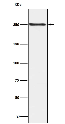 Western blot analysis of Phospho-mTOR (S2448) expression in HEK293 cell lysate (P00003). <br>Electrophoresis was performed on a 5-20% SDS-PAGE gel at 70V (Stacking gel) / 90V (Resolving gel) for 2-3 hours. The sample well of each lane was loaded with 50ug of sample under reducing conditions. <br> After Electrophoresis, proteins were transferred to a Nitrocellulose membrane at 150mA for 50-90 minutes. Blocked the membrane with 5% Non-fat Milk/ TBS for 1.5 hour at RT. The membrane was incubated with rabbit anti-MTOR monoclonal antibody (Catalog # P00003)  overnight at 4°C, then washed with TBS-0.1%Tween 3 times with 5 minutes each and probed with a goat anti-rabbit IgG-HRP secondary antibody at a dilution of 1:10000 for 1.5 hour at RT. The signal is developed using an Enhanced Chemiluminescent detection (ECL) kit (Catalog # EK1002) with Tanon 5200 system. A specific band was detected for MTOR
