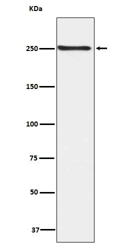 /P/0/P00003-MTOR-primary-antibodies-WB-testing-1.jpg