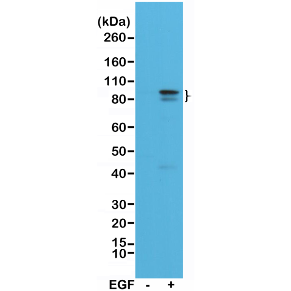 Figure 1. Western Blotting result<br>Western Blot of A431 cell lysates, nontreated (-) or treated (+) with EGF, using Anti-Phospho-Stat3 (Tyr705) Rabbit Monoclonal Antibody (clone RM261) at a 1:1000 dilution, showed Phospho-Stat3 (Tyr705) in EGF-treated A431 cells.