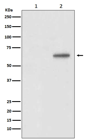 Western blot analysis of Phospho-AKT1 (T450) expression in (1) 3T3 cell lysate treated with Lambda Phosphatase; (2) 3T3 cell lysate (P00024-2). <br>Electrophoresis was performed on a 5-20% SDS-PAGE gel at 70V (Stacking gel) / 90V (Resolving gel) for 2-3 hours. The sample well of each lane was loaded with 50ug of sample under reducing conditions. <br> After Electrophoresis, proteins were transferred to a Nitrocellulose membrane at 150mA for 50-90 minutes. Blocked the membrane with 5% Non-fat Milk/ TBS for 1.5 hour at RT. The membrane was incubated with rabbit anti-AKT1 monoclonal antibody (Catalog # P00024-2)  overnight at 4℃, then washed with TBS-0.1%Tween 3 times with 5 minutes each and probed with a goat anti-rabbit IgG-HRP secondary antibody at a dilution of 1:10000 for 1.5 hour at RT. The signal is developed using an Enhanced Chemiluminescent detection (ECL) kit (Catalog # EK1002) with Tanon 5200 system. A specific band was detected for AKT1