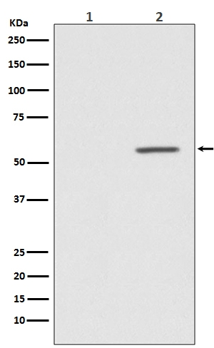 Western blot analysis of Phospho-AKT1 (S124) expression in (1) MCF-7 cell treated with Alkaline Phosphatase  lysate; (2) MCF-7 cell lysate (P00024-4).
