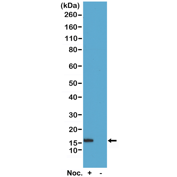 Figure 1. Western Blotting result<br>Western Blot of acid extracts of HeLa cells treated or non-treated with Nocodazole. Using RM238 at 0.5 ug/mL, showed a band of Histone H2B phosphorylated at Serine 14 in HeLa cells.