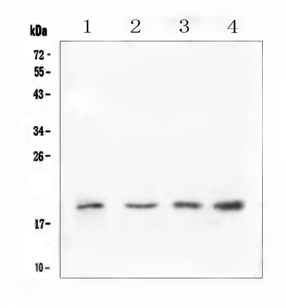 Figure 1. Western blot analysis of IL10 using anti-IL10 antibody (A00021-2). <br>Electrophoresis was performed on a 5-20% SDS-PAGE gel at 70V (Stacking gel) / 90V (Resolving gel) for 2-3 hours. The sample well of each lane was loaded with 50ug of sample under reducing conditions. <br>Lane 1: human U-87MG whole cell lysate,<br>Lane 2: rat testis tissue lysates,<br>Lane 3: mouse testis tissue lysates,<br>Lane 4: mouse SP20 whole cell lysate. <br>After Electrophoresis, proteins were transferred to a Nitrocellulose membrane at 150mA for 50-90 minutes. Blocked the membrane with 5% Non-fat Milk/ TBS for 1.5 hour at RT. The membrane was incubated with rabbit anti-IL10 antigen affinity purified polyclonal antibody (Catalog # A00021-2) at 0.5 μg/mL overnight at 4°C, then washed with TBS-0.1%Tween 3 times with 5 minutes each and probed with a goat anti-rabbit IgG-HRP secondary antibody at a dilution of 1:10000 for 1.5 hour at RT. The signal is developed using an Enhanced Chemiluminescent detection (ECL) kit (Catalog # EK1002) with Tanon 5200 system. A specific band was detected for IL10 at approximately 19KD. The expected band size for IL10 is at 21KD.