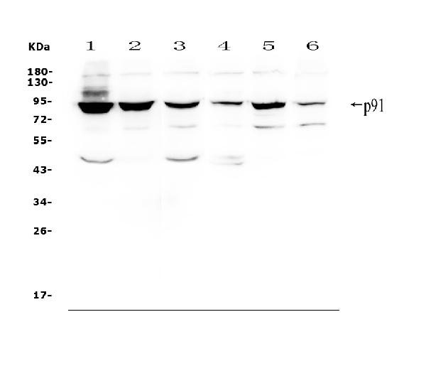Figure 1. Western blot analysis of STAT1 using anti-STAT1 antibody (A00036-2). <br> Electrophoresis was performed on a 5-20% SDS-PAGE gel at 70V (Stacking gel) / 90V (Resolving gel) for 2-3 hours. The sample well of each lane was loaded with 50ug of sample under reducing conditions. <br> Lane 1: human Hela whole cell lysates, <br> Lane 2: human PC-3 whole cell lysates, <br> Lane 3: human Caco-2 whole cell lysates, <br> Lane 4: human A549 whole cell lysates, <br> Lane 5: human K562 whole cell lysates, <br> Lane 6: human Raji whole cell lysates. <br> After Electrophoresis, proteins were transferred to a Nitrocellulose membrane at 150mA for 50-90 minutes. Blocked the membrane with 5% Non-fat Milk/ TBS for 1.5 hour at RT. The membrane was incubated with rabbit anti-STAT1 antigen affinity purified polyclonal antibody (Catalog # A00036-2) at 0.5 μg/mL overnight at 4°C, then washed with TBS-0.1%Tween 3 times with 5 minutes each and probed with a goat anti-rabbit IgG-HRP secondary antibody at a dilution of 1:10000 for 1.5 hour at RT. The signal is developed using an Enhanced Chemiluminescent detection (ECL) kit (Catalog # EK1002) with Tanon 5200 system. A specific band was detected for STAT1 at approximately 91KD. The expected band size for STAT1 is at 87KD.