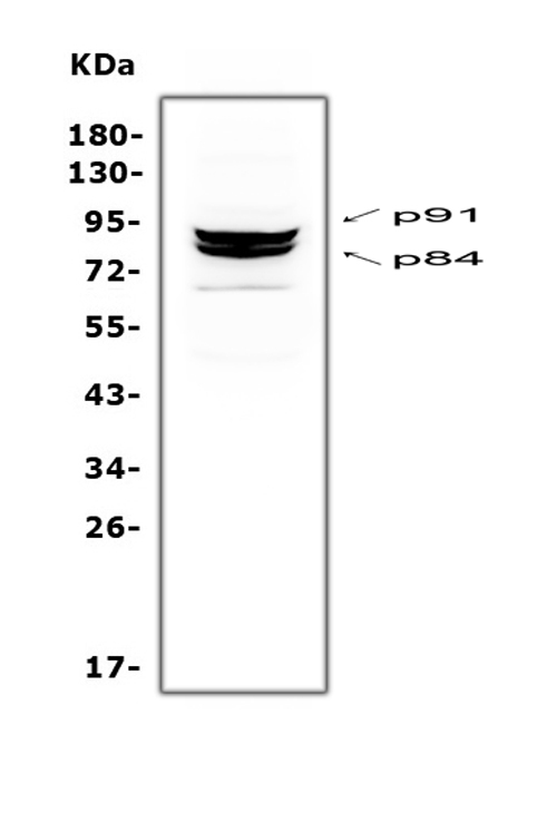 Figure 7. Western blot analysis of STAT1 using anti-STAT1 antibody (A00036-2). <br> Electrophoresis was performed on a 5-20% SDS-PAGE gel at 70V (Stacking gel) / 90V (Resolving gel) for 2-3 hours. The sample well of each lane was loaded with 50ug of sample under reducing conditions. <br> Lane 1: monkey COS7 whole cell lysate. <br> After Electrophoresis, proteins were transferred to a Nitrocellulose membrane at 150mA for 50-90 minutes. Blocked the membrane with 5% Non-fat Milk/ TBS for 1.5 hour at RT. The membrane was incubated with rabbit anti-STAT1 antigen affinity purified polyclonal antibody (Catalog # A00036-2) at 0.5 μg/mL overnight at 4°C, then washed with TBS-0.1%Tween 3 times with 5 minutes each and probed with a goat anti-rabbit IgG-HRP secondary antibody at a dilution of 1:10000 for 1.5 hour at RT. The signal is developed using an Enhanced Chemiluminescent detection (ECL) kit (Catalog # EK1002) with Tanon 5200 system. Two specific bands were detected for STAT1 at approximately 84 KD and 91KD. The expected band size for monkey STAT1 are at 84 KD and 91KD.