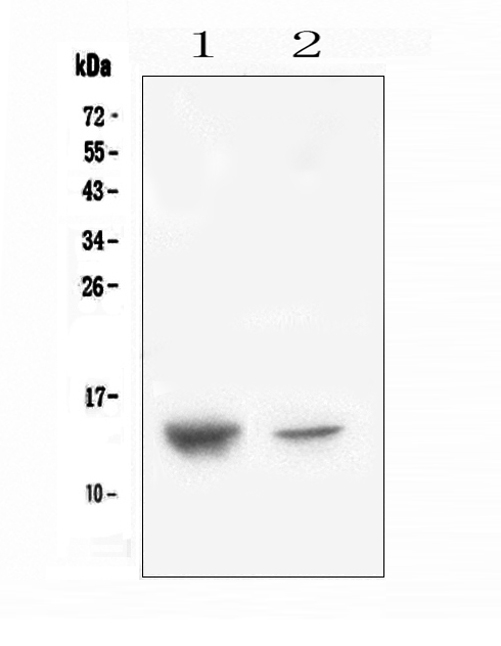 Figure 1. Western blot analysis of CXCL12 using anti-CXCL12 antibody (A00053-2). <br>Electrophoresis was performed on a 5-20% SDS-PAGE gel at 70V (Stacking gel) / 90V (Resolving gel) for 2-3 hours. The sample well of each lane was loaded with 50ug of sample under reducing conditions. <br>Lane 1: human placenta tissue lysates,<br>Lane 2: human A431 whole cell lysate. <br>After Electrophoresis, proteins were transferred to a Nitrocellulose membrane at 150mA for 50-90 minutes. Blocked the membrane with 5% Non-fat Milk/ TBS for 1.5 hour at RT. The membrane was incubated with rabbit anti-CXCL12 antigen affinity purified polyclonal antibody (Catalog # A00053-2) at 0.5 μg/mL overnight at 4°C, then washed with TBS-0.1%Tween 3 times with 5 minutes each and probed with a goat anti-rabbit IgG-HRP secondary antibody at a dilution of 1:10000 for 1.5 hour at RT. The signal is developed using an Enhanced Chemiluminescent detection (ECL) kit (Catalog # EK1002) with Tanon 5200 system. A specific band was detected for CXCL12 at approximately 14KD. The expected band size for CXCL12 is at 11KD.