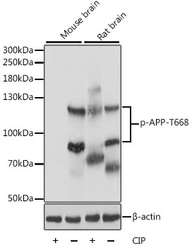 <h4>Figure 1. Western blotting validation for Anti-Phospho-APP-T668 Antibody A00081T668</h4> Western blot analysis of extracts of various cell lines