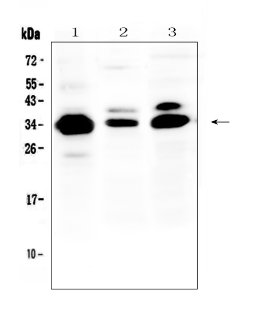 Figure 1. Western blot analysis of IL-1 beta using anti-IL-1 beta antibody (A00101). <br>Electrophoresis was performed on a 5-20% SDS-PAGE gel at 70V (Stacking gel) / 90V (Resolving gel) for 2-3 hours. The sample well of each lane was loaded with 50ug of sample under reducing conditions. <br>Lane 1: human COLO-320 whole cell lysate,<br>Lane 2: rat spleen tissue lysate,<br>Lane 3: mouse NIH3T3 whole cell lysate. <br>After Electrophoresis, proteins were transferred to a Nitrocellulose membrane at 150mA for 50-90 minutes. Blocked the membrane with 5% Non-fat Milk/ TBS for 1.5 hour at RT. The membrane was incubated with rabbit anti-IL-1 beta antigen affinity purified polyclonal antibody (Catalog # A00101) at 0.5 μg/mL overnight at 4°C, then washed with TBS-0.1%Tween 3 times with 5 minutes each and probed with a goat anti-rabbit IgG-HRP secondary antibody at a dilution of 1:10000 for 1.5 hour at RT. The signal is developed using an Enhanced Chemiluminescent detection (ECL) kit (Catalog # EK1002) with Tanon 5200 system. A specific band was detected for IL-1 beta at approximately 35KD. The expected band size for IL-1 beta is at 31KD.