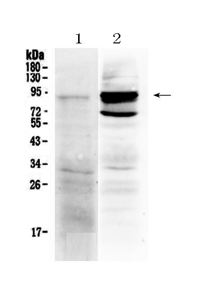Anti-TLR2 Picoband™ Antibody