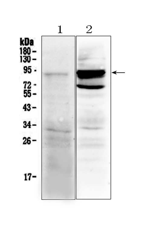 Figure 1. Western blot analysis of TLR2 using anti- TLR2 antibody (A00131). <br>Electrophoresis was performed on a 5-20% SDS-PAGE gel at 70V (Stacking gel) / 90V (Resolving gel) for 2-3 hours. The sample well of each lane was loaded with 50ug of sample under reducing conditions. <br>Lane 1: rat spleen tissue lysates, <br>Lane 2: mouse spleen tissue lysates. <br>After Electrophoresis, proteins were transferred to a Nitrocellulose membrane at 150mA for 50-90 minutes. Blocked the membrane with 5% Non-fat Milk/ TBS for 1.5 hour at RT. The membrane was incubated with rabbit anti- TLR2 antigen affinity purified polyclonal antibody (Catalog # A00131) at 0.5 μg/mL overnight at 4°C, then washed with TBS-0.1%Tween 3 times with 5 minutes each and probed with a goat anti-rabbit IgG-HRP secondary antibody at a dilution of 1:10000 for 1.5 hour at RT. The signal is developed using an Enhanced Chemiluminescent detection (ECL) kit (Catalog # EK1002) with Tanon 5200 system. A specific band was detected for TLR2 at approximately 89KD. The expected band size for TLR2 is at 89KD.