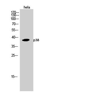 Western Blot (WB) analysis of HeLa cells using p38 Polyclonal antibody