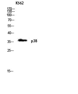 Western Blot (WB) analysis of K562 lysis using p38 antibody.