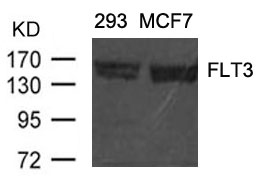 Western blot analysis of extracts from 293 and MCF cells using FLT3(Ab-591) antibody A00188.