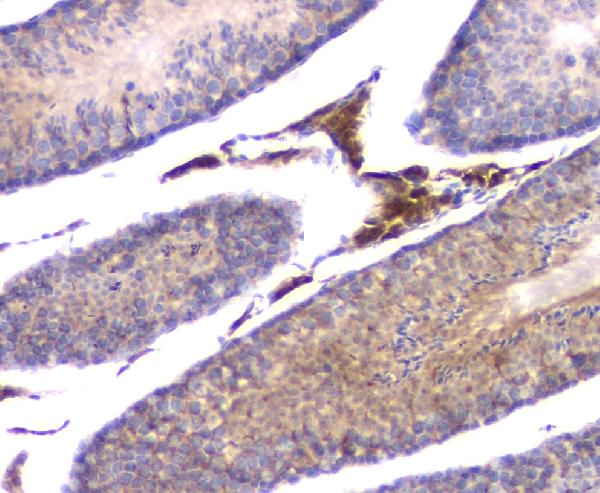 Figure 7. IHC analysis of IFNG using anti-IFNG antibody (A00393-3). <br> IFNG was detected in paraffin-embedded section of mouse testis tissue. Heat mediated antigen retrieval was performed in citrate buffer (pH6, epitope retrieval solution) for 20 mins. The tissue section was blocked with 10% goat serum. The tissue section was then incubated with 1μg/ml rabbit anti-IFNG Antibody (A00393-3) overnight at 4°C. Biotinylated goat anti-rabbit IgG was used as secondary antibody and incubated for 30 minutes at 37°C. The tissue section was developed using Strepavidin-Biotin-Complex (SABC)(Catalog # SA1022) with DAB as the chromogen.