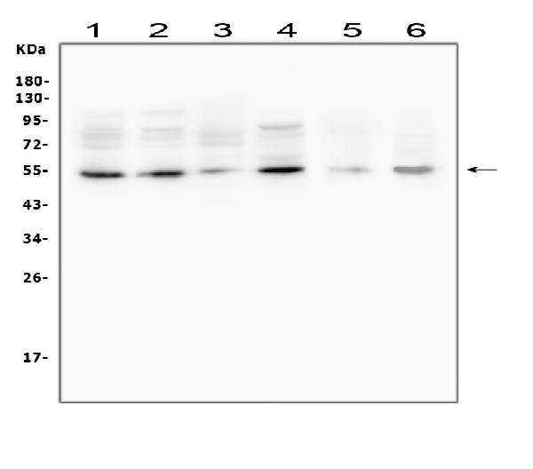 Figure 1. Western blot analysis of MMP13 using anti-MMP13 antibody (A00420-2).  <br> Electrophoresis was performed on a 5-20% SDS-PAGE gel at 70V (Stacking gel) / 90V (Resolving gel) for 2-3 hours. The sample well of each lane was loaded with 50ug of sample under reducing conditions.  <br> Lane 1: human A549 whole cell lysates<br> Lane 2: human PC-3 whole cell lysates<br> Lane 3: human U2OS whole cell lysates<br> Lane 4: human HEK293 whole cell lysates<br> Lane 5: rat testicular tissue lysates<br> Lane 6: mouse testicular tissue lysates  <br> After Electrophoresis, proteins were transferred to a Nitrocellulose membrane at 150mA for 50-90 minutes. Blocked the membrane with 5% Non-fat Milk/ TBS for 1.5 hour at RT. The membrane was incubated with rabbit anti-MMP13 antigen affinity purified polyclonal antibody (Catalog # A00420-2) at 0.5 μg/mL overnight at 4°C, then washed with TBS-0.1%Tween 3 times with 5 minutes each and probed with a goat anti-rabbit IgG-HRP secondary antibody at a dilution of 1:10000 for 1.5 hour at RT. The signal is developed using an Enhanced Chemiluminescent detection (ECL) kit (Catalog # EK1002) with Tanon 5200 system. A specific band was detected for MMP13 at approximately 54KD. The expected band size for MMP13 is at 54KD.