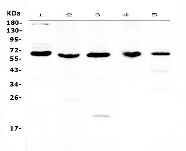 Figure 1. Western blot analysis of TRAF3 using anti-TRAF3 antibody (A00424). <br>Electrophoresis was performed on a 5-20% SDS-PAGE gel at 70V (Stacking gel) / 90V (Resolving gel) for 2-3 hours. The sample well of each lane was loaded with 50ug of sample under reducing conditions. <br>Lane 1: human K562 cell lysates, <br>Lane 2: rat brain tissue lysates,<br>Lane 3: rat PC-12 cell lysates, <br>Lane 4: mouse brain tissue lysates,<br>Lane 5: mouse HEPA1-6 cell lysates.<br>After Electrophoresis, proteins were transferred to a Nitrocellulose membrane at 150mA for 50-90 minutes. Blocked the membrane with 5% Non-fat Milk/ TBS for 1.5 hour at RT. The membrane was incubated with rabbit anti-TRAF3 antigen affinity purified polyclonal antibody (Catalog # A00424) at 0.5 μg/mL overnight at 4°C, then washed with TBS-0.1%Tween 3 times with 5 minutes each and probed with a goat anti-rabbit IgG-HRP secondary antibody at a dilution of 1:10000 for 1.5 hour at RT. The signal is developed using an Enhanced Chemiluminescent detection (ECL) kit (Catalog # EK1002) with Tanon 5200 system. A specific band was detected for TRAF3 at approximately 60,64KD. The expected band size for TRAF3 is at 64KD.