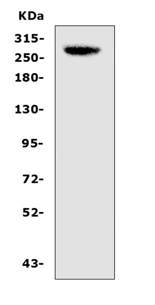 Figure 1. Western blot analysis of CAD using anti-CAD antibody (A00463-1). <br>Electrophoresis was performed on a 5-20% SDS-PAGE gel at 70V (Stacking gel) / 90V (Resolving gel) for 2-3 hours. The sample well of each lane was loaded with 50ug of sample under reducing conditions. <br>Lane 1: mouse pancreas tissue lysates.<br>After Electrophoresis, proteins were transferred to a Nitrocellulose membrane at 150mA for 50-90 minutes. Blocked the membrane with 5% Non-fat Milk/ TBS for 1.5 hour at RT. The membrane was incubated with rabbit anti-CAD antigen affinity purified polyclonal antibody (Catalog # A00463-1) at 0.5 μg/mL overnight at 4°C, then washed with TBS-0.1%Tween 3 times with 5 minutes each and probed with a goat anti-rabbit IgG-HRP secondary antibody at a dilution of 1:10000 for 1.5 hour at RT. The signal is developed using an Enhanced Chemiluminescent detection (ECL) kit (Catalog # EK1002) with Tanon 5200 system. A specific band was detected for CAD at approximately 270KD. The expected band size for CAD is at 243KD.