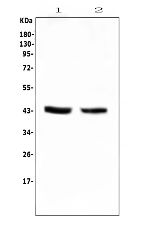 Figure 1. Western blot analysis of PON1 using anti-PON1 antibody (A00516-3). <br>Electrophoresis was performed on a 5-20% SDS-PAGE gel at 70V (Stacking gel) / 90V (Resolving gel) for 2-3 hours. The sample well of each lane was loaded with 50ug of sample under reducing conditions. <br>Lane 1: rat liver tissue lysates,<br>Lane 2: mouse liver tissue lysates. <br>After Electrophoresis, proteins were transferred to a Nitrocellulose membrane at 150mA for 50-90 minutes. Blocked the membrane with 5% Non-fat Milk/ TBS for 1.5 hour at RT. The membrane was incubated with rabbit anti-PON1 antigen affinity purified polyclonal antibody (Catalog # A00516-3) at 0.5 μg/mL overnight at 4°C, then washed with TBS-0.1%Tween 3 times with 5 minutes each and probed with a goat anti-rabbit IgG-HRP secondary antibody at a dilution of 1:10000 for 1.5 hour at RT. The signal is developed using an Enhanced Chemiluminescent detection (ECL) kit (Catalog # EK1002) with Tanon 5200 system. A specific band was detected for PON1 at approximately 43KD. The expected band size for PON1 is at 40KD.