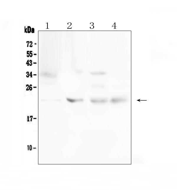 Figure 1. Western blot analysis of TIMP1 using anti-TIMP1 antibody (A00561). <br>Electrophoresis was performed on a 5-20% SDS-PAGE gel at 70V (Stacking gel) / 90V (Resolving gel) for 2-3 hours. The sample well of each lane was loaded with 50ug of sample under reducing conditions. <br>Lane 1: human Hela whole cell lysates,<br>Lane 2: rat ovary tissue lysates,<br>Lane 3: rat lung tissue lysates,<br>Lane 4: mouse ovary tissue lysates. <br>After Electrophoresis, proteins were transferred to a Nitrocellulose membrane at 150mA for 50-90 minutes. Blocked the membrane with 5% Non-fat Milk/ TBS for 1.5 hour at RT. The membrane was incubated with rabbit anti-TIMP1 antigen affinity purified polyclonal antibody (Catalog # A00561) at 0.5 ug/mL overnight at 4?? then washed with TBS-0.1%Tween 3 times with 5 minutes each and probed with a goat anti-rabbit IgG-HRP secondary antibody at a dilution of 1:10000 for 1.5 hour at RT. The signal is developed using an Enhanced Chemiluminescent detection (ECL) kit (Catalog # EK1002) with Tanon 5200 system. A specific band was detected for TIMP1 at approximately 23KD. The expected band size for TIMP1 is at 23KD.