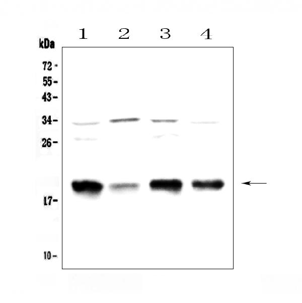 Figure 1. Western blot analysis of Galanin using anti-Galanin antibody (A00606-1). <br>Electrophoresis was performed on a 5-20% SDS-PAGE gel at 70V (Stacking gel) / 90V (Resolving gel) for 2-3 hours. The sample well of each lane was loaded with 50ug of sample under reducing conditions. <br>Lane 1: rat brain tissue lysates,<br>Lane 2: rat small intestine tissue lysates,<br>Lane 3: mouse brain tissue lysates,<br>Lane 4: mouse small intestine tissue lysates. <br>After Electrophoresis, proteins were transferred to a Nitrocellulose membrane at 150mA for 50-90 minutes. Blocked the membrane with 5% Non-fat Milk/ TBS for 1.5 hour at RT. The membrane was incubated with rabbit anti-Galanin antigen affinity purified polyclonal antibody (Catalog # A00606-1) at 0.5 μg/mL overnight at 4°C, then washed with TBS-0.1%Tween 3 times with 5 minutes each and probed with a goat anti-rabbit IgG-HRP secondary antibody at a dilution of 1:10000 for 1.5 hour at RT. The signal is developed using an Enhanced Chemiluminescent detection (ECL) kit (Catalog # EK1002) with Tanon 5200 system. A specific band was detected for Galanin at approximately 19KD. The expected band size for Galanin is at 13KD.