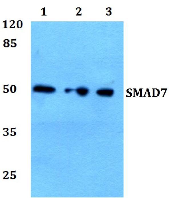 Anti Smad7 Antibody