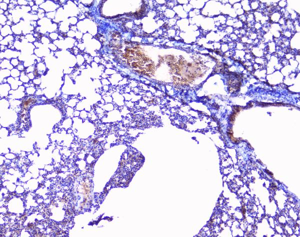 Figure 2. IHC analysis of Collagen III using anti-Collagen III antibody (A00788-3).<br> Collagen III was detected in paraffin-embedded section of mouse lung tissues. Heat mediated antigen retrieval was performed in citrate buffer (pH6, epitope retrieval solution) for 20 mins. The tissue section was blocked with 10% goat serum. The tissue section was then incubated with 1μg/ml rabbit anti-Collagen III Antibody (A00788-3) overnight at 4°C. Biotinylated goat anti-rabbit IgG was used as secondary antibody and incubated for 30 minutes at 37°C. The tissue section was developed using Strepavidin-Biotin-Complex (SABC)(Catalog # SA1022) with DAB as the chromogen.