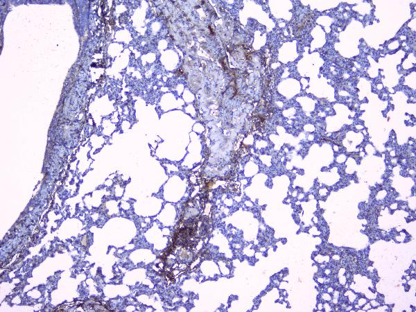 Figure 3. IHC analysis of Collagen III using anti-Collagen III antibody (A00788-3).<br> Collagen III was detected in paraffin-embedded section of rat lung tissues. Heat mediated antigen retrieval was performed in citrate buffer (pH6, epitope retrieval solution) for 20 mins. The tissue section was blocked with 10% goat serum. The tissue section was then incubated with 1μg/ml rabbit anti-Collagen III Antibody (A00788-3) overnight at 4°C. Biotinylated goat anti-rabbit IgG was used as secondary antibody and incubated for 30 minutes at 37°C. The tissue section was developed using Strepavidin-Biotin-Complex (SABC)(Catalog # SA1022) with DAB as the chromogen.