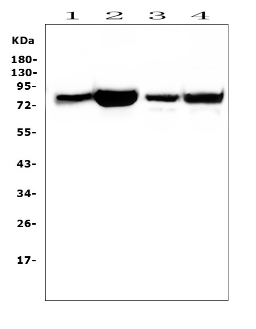 Figure 11. Western blot analysis of PRKCD using anti-PRKCD antibody (A00822-1). <br> Electrophoresis was performed on a 5-20% SDS-PAGE gel at 70V (Stacking gel) / 90V (Resolving gel) for 2-3 hours. The sample well of each lane was loaded with 50ug of sample under reducing conditions. <br> Lane 1: human placenta issue lysates, <br> Lane 2: human THP-1 whole cell lysates, <br> Lane 3: human Caco-2 whole cell lysates, <br> Lane 4: human HEK293 whole cell  lysates. <br> After Electrophoresis, proteins were transferred to a Nitrocellulose membrane at 150mA for 50-90 minutes. Blocked the membrane with 5% Non-fat Milk/ TBS for 1.5 hour at RT. The membrane was incubated with rabbit anti-PRKCD antigen affinity purified polyclonal antibody (Catalog # A00822-1) at 0.5 μg/mL overnight at 4°C, then washed with TBS-0.1%Tween 3 times with 5 minutes each and probed with a goat anti-rabbit IgG-HRP secondary antibody at a dilution of 1:10000 for 1.5 hour at RT. The signal is developed using an Enhanced Chemiluminescent detection (ECL) kit (Catalog # EK1002) with Tanon 5200 system. A specific band was detected for PRKCD at approximately 77KD. The expected band size for PRKCD is at 77KD.