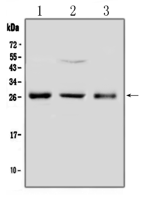 Figure 1. Western blot analysis of FGF8 using anti-FGF8 antibody (A00841). <br>Electrophoresis was performed on a 5-20% SDS-PAGE gel at 70V (Stacking gel) / 90V (Resolving gel) for 2-3 hours. The sample well of each lane was loaded with 50ug of sample under reducing conditions. <br>Lane 1: rat ovary tissue lysates,<br>Lane 2: human Hela whole cell lysates,<br>Lane 3: human placenta tissue lysates. <br>After Electrophoresis, proteins were transferred to a Nitrocellulose membrane at 150mA for 50-90 minutes. Blocked the membrane with 5% Non-fat Milk/ TBS for 1.5 hour at RT. The membrane was incubated with rabbit anti-FGF8 antigen affinity purified polyclonal antibody (Catalog # A00841) at 0.5 ug/mL overnight at 4?? then washed with TBS-0.1%Tween 3 times with 5 minutes each and probed with a goat anti-rabbit IgG-HRP secondary antibody at a dilution of 1:10000 for 1.5 hour at RT. The signal is developed using an Enhanced Chemiluminescent detection (ECL) kit (Catalog # EK1002) with Tanon 5200 system. A specific band was detected for FGF8 at approximately 26KD. The expected band size for FGF8 is at 26KD.