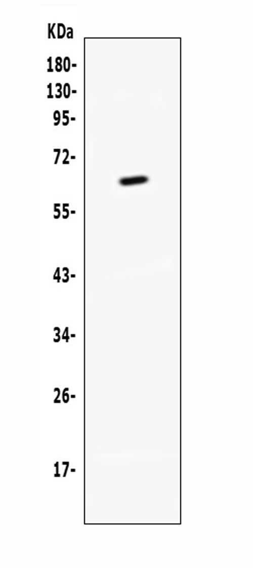 Figure 1. Western blot analysis of CD137 using anti-CD137 antibody (A00867-2). <br>Electrophoresis was performed on a 5-20% SDS-PAGE gel at 70V (Stacking gel) / 90V (Resolving gel) for 2-3 hours. <br>Lane 1: recombinant mouse CD137 protein 1ng.  <br>After Electrophoresis, proteins were transferred to a Nitrocellulose membrane at 150mA for 50-90 minutes. Blocked the membrane with 5% Non-fat Milk/ TBS for 1.5 hour at RT. The membrane was incubated with rabbit anti-CD137 antigen affinity purified polyclonal antibody (Catalog # A00867-2) at 0.5 μg/mL overnight at 4°C, then washed with TBS-0.1%Tween 3 times with 5 minutes each and probed with a goat anti-rabbit IgG-HRP secondary antibody at a dilution of 1:10000 for 1.5 hour at RT. The signal is developed using an Enhanced Chemiluminescent detection (ECL) kit (Catalog # EK1002) with Tanon 5200 system. A specific band was detected for CD137 at approximately 65KD. The expected band size for CD137 is at 44KD.