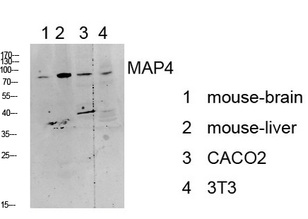 <h4>Figure 1. Western blotting validation for Anti-MAP4 Antibody A00948-1</h4> Western blot analysis of various lysate