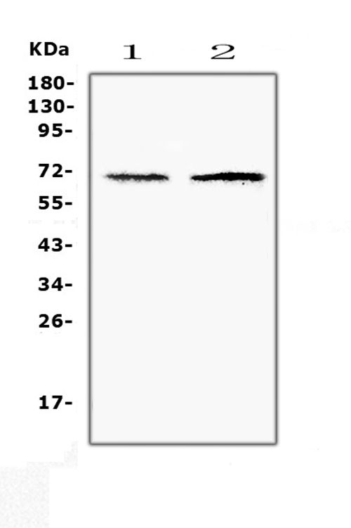 Figure 1. Western blot analysis of CLPX using anti-CLPX antibody (A00978-1). <br>Electrophoresis was performed on a 5-20% SDS-PAGE gel at 70V (Stacking gel) / 90V (Resolving gel) for 2-3 hours. The sample well of each lane was loaded with 50ug of sample under reducing conditions. <br>Lane 1: human Hela whole cell lysates,<br>Lane 2: human HepG2 whole cell lysates. <br>After Electrophoresis, proteins were transferred to a Nitrocellulose membrane at 150mA for 50-90 minutes. Blocked the membrane with 5% Non-fat Milk/ TBS for 1.5 hour at RT. The membrane was incubated with rabbit anti-CLPX antigen affinity purified polyclonal antibody (Catalog # A00978-1) at 0.5 μg/mL overnight at 4°C, then washed with TBS-0.1%Tween 3 times with 5 minutes each and probed with a goat anti-rabbit IgG-HRP secondary antibody at a dilution of 1:10000 for 1.5 hour at RT. The signal is developed using an Enhanced Chemiluminescent detection (ECL) kit (Catalog # EK1002) with Tanon 5200 system. A specific band was detected for CLPX at approximately 69KD. The expected band size for CLPX is at 69KD.