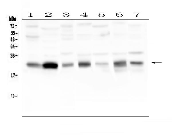 Figure 1. Western blot analysis of CAV3 using anti-CAV3 antibody (A00990-2). <br>Electrophoresis was performed on a 5-20% SDS-PAGE gel at 70V (Stacking gel) / 90V (Resolving gel) for 2-3 hours. The sample well of each lane was loaded with 50ug of sample under reducing conditions. <br>Lane 1: human placenta tissue lysates,<br>Lane 2: human U-87MG whole cell lysates,<br>Lane 3: human Hela whole cell lysates,<br>Lane 4: rat stomach tissue lysates,<br>Lane 5: rat testis tissue lysates,<br>Lane 6: mouse stomach tissue lysates,<br>Lane 7: mouse testis tissue lysates. <br>After Electrophoresis, proteins were transferred to a Nitrocellulose membrane at 150mA for 50-90 minutes. Blocked the membrane with 5% Non-fat Milk/ TBS for 1.5 hour at RT. The membrane was incubated with rabbit anti-CAV3 antigen affinity purified polyclonal antibody (Catalog # A00990-2) at 0.5 μg/mL overnight at 4°C, then washed with TBS-0.1%Tween 3 times with 5 minutes each and probed with a goat anti-rabbit IgG-HRP secondary antibody at a dilution of 1:10000 for 1.5 hour at RT. The signal is developed using an Enhanced Chemiluminescent detection (ECL) kit (Catalog # EK1002) with Tanon 5200 system. A specific band was detected for CAV3 at approximately 22KD. The expected band size for CAV3 is at 17KD.