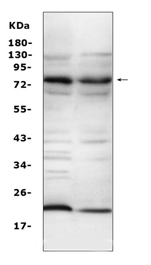 Figure 2. Western blot analysis of Complement C9 using anti-Complement C9 antibody (A01010-2). <br> Electrophoresis was performed on a 5-20% SDS-PAGE gel at 70V (Stacking gel) / 90V (Resolving gel) for 2-3 hours. The sample well of each lane was loaded with 50ug of sample under reducing conditions. <br> Lane 1: mouse liver tissue lysates, <br> Lane 2: mouse lung tissue lysates, <br> After Electrophoresis, proteins were transferred to a Nitrocellulose membrane at 150mA for 50-90 minutes. Blocked the membrane with 5% Non-fat Milk/ TBS for 1.5 hour at RT. The membrane was incubated with rabbit anti-Complement C9 antigen affinity purified polyclonal antibody (Catalog # A01010-2) at 0.5 μg/mL overnight at 4°C, then washed with TBS-0.1%Tween 3 times with 5 minutes each and probed with a goat anti-rabbit IgG-HRP secondary antibody at a dilution of 1:10000 for 1.5 hour at RT. The signal is developed using an Enhanced Chemiluminescent detection (ECL) kit (Catalog # EK1002) with Tanon 5200 system. A specific band was detected for Complement C9 at approximately 80KD. The expected band size for Complement C9 is at 63KD.