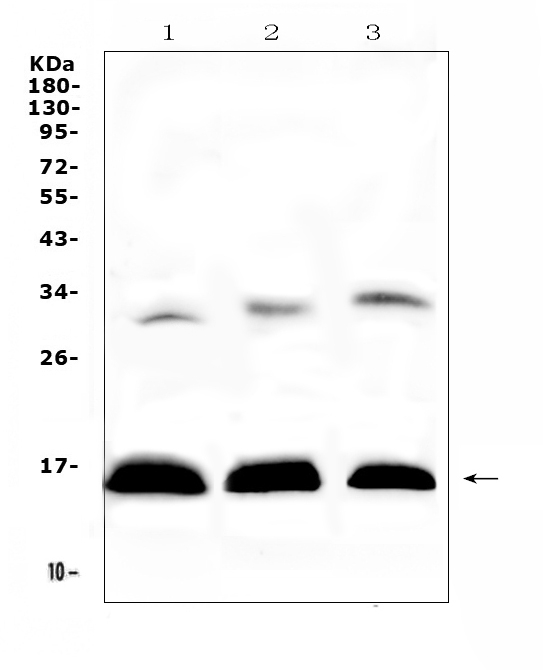 Figure 1. Western blot analysis of HBD using anti-HBD antibody (A01076). <br>Electrophoresis was performed on a 5-20% SDS-PAGE gel at 70V (Stacking gel) / 90V (Resolving gel) for 2-3 hours. The sample well of each lane was loaded with 50ug of sample under reducing conditions. <br>Lane 1: human placenta tissue lysates,<br>Lane 2: rat spleen tissue lysates,<br>Lane 3: mouse spleen tissue lysates. <br>After Electrophoresis, proteins were transferred to a Nitrocellulose membrane at 150mA for 50-90 minutes. Blocked the membrane with 5% Non-fat Milk/ TBS for 1.5 hour at RT. The membrane was incubated with rabbit anti-HBD antigen affinity purified polyclonal antibody (Catalog # A01076) at 0.5 ug/mL overnight at 4?? then washed with TBS-0.1%Tween 3 times with 5 minutes each and probed with a goat anti-rabbit IgG-HRP secondary antibody at a dilution of 1:10000 for 1.5 hour at RT. The signal is developed using an Enhanced Chemiluminescent detection (ECL) kit (Catalog # EK1002) with Tanon 5200 system. A specific band was detected for HBD at approximately 16KD. The expected band size for HBD is at 16KD.
